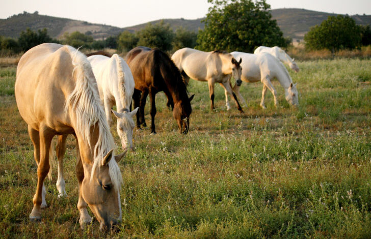 Wild horses eating grass, grazing in a pasture. They were all female and were regularly aided by a local resident. It's a very hot area in the summer and a tough place to survive.
